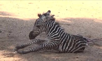 Watch: Baby zebra stands for the first time at Ramat Gan Safari